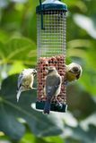 Three Blue tits on a feeder. Three small blue tits eat nuts from a bird feeder royalty free stock image