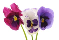 Three blue violets. stock images