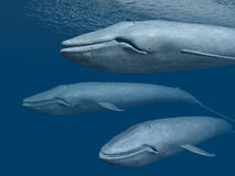 Three Blue Whales Royalty Free Stock Photos