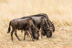 Three blue wildebeests grazing in the grasslands Stock Photo