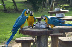Three Blue-and-yellow macaw. (Ara ararauna) have small talk at mealtimes in the forest nearby Cuiab Royalty Free Stock Photo