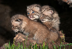 Three Bobcat Kittens (Lynx rufus) Stock Photography