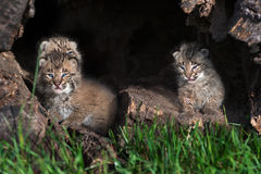 Three Bobcat Kittens (Lynx rufus) in Log Royalty Free Stock Photo