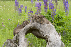 Three Bobcat Kittens with Wildflowers Stock Images