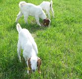 Boer kids goats grazing. Kid goats grazing in springtime grass Royalty Free Stock Photos