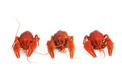 Three boiled crawfish Royalty Free Stock Photo