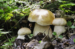 Three boletus edulis Stock Image