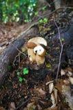 Three boletus edulis mushrooms in wood stock photography