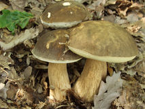 Three boletus mushrooms Stock Photos