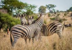 Three bonding Zebras Royalty Free Stock Photo