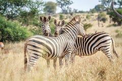 Three bonding Zebras. Stock Images