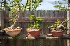 Three bonsai trees Royalty Free Stock Photo