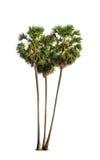 Three borassus flabellifer trees Stock Photo