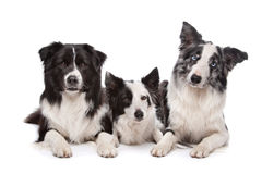 Three border collie Stock Photo