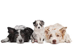 Three border collie dogs. In front of a white background stock photos