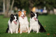 Three border collie dogs sitting outdoors. Three border collie dogs outdoors stock photo