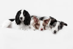 Three border collie dogs in studio Royalty Free Stock Photo