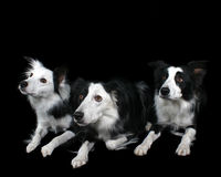 Three Border Collie s. Three Border Collie Dogs Royalty Free Stock Photos