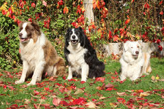 Three border collies in red leaves Stock Photography
