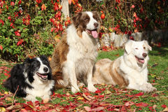 Three border collies in red leaves