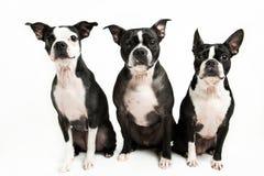 Three Boston Terrier's Stock Photos