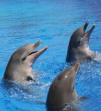 Three Bottlenosed Dolphins playing in water. Three Bottle Nosed Dolphins swimming Royalty Free Stock Image