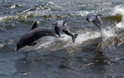 Three Bottlenose Dolphin (Tursiops truncatus) Royalty Free Stock Image