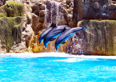 Three Bottlenose dolphins performing syncronised stunt. In marine pool, Loro Park, Tenerife Stock Image