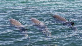 Three bottlenose dolphins swimming and one spouting through its blowhole in the Rockingham Sea, Western Australia stock image
