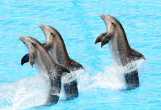 Three bottlenose dolphins ( Tursiops truncatus). Three bottlenose dolphins performing a tail stand Stock Photos