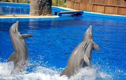 Three bottlenosed dolphins. Three gray bottlenosed dolphins in dolphinarium Stock Photo