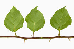 Three Bougainvillea Leaves with Thorns on Stem Stock Images
