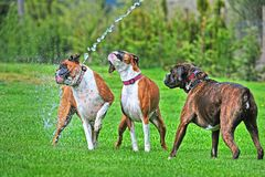 Three Boxers playing in a stream of water from a garden hose on a hot summer day HDR. Three boxer dogs playing together on a hot summer day under the stream of stock image