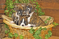 Three Boxer Puppies. Sitting together in basket royalty free stock image