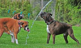 Three Boxers playing in a stream from a garden hose on a hot summer day HDR. Three boxer dogs playing together on a hot summer day under the stream of a garden royalty free stock photo