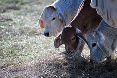 Three Brahma Cows Eating Hay. Hay being consumed by three Brahma cows Stock Images