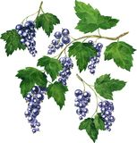 Three branches of black currants Royalty Free Stock Images