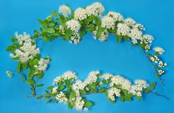 Three branches of blooming white spirea on a blue background. co. Py space for text or logo Royalty Free Stock Images