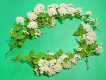 Three branches of blooming white spirea on a green background. c. Opy space for text or logo Stock Photography