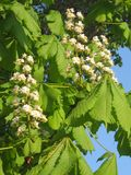 Three branches of chestnut on blue sky. Three branches of white chestnut with green leaves on blue sky Stock Images