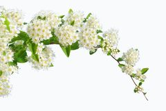 Three branches of flowering white spirea on a white background i. Solate. copy space for text or logo Stock Photo