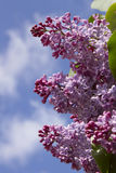 Three branches of lilacs Royalty Free Stock Photo