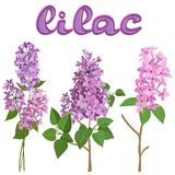Three branches of pink lilac isolated on white background royalty free illustration