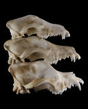 Three breeds (Foxterrier, Doberman and  St. Bernard) dog skulls evolution in stack pyramid isolated Stock Image