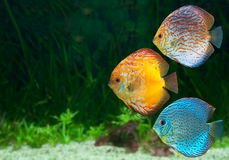 Three bright discus in aquarium Royalty Free Stock Photos