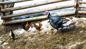 Three bright, multicolored roosters and big turkey in the barnyard. Near the wooden fence in the village, farm, Ukraine stock image