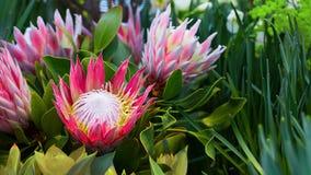 Protea round orange honey flowers. Selective focus. horizontal banner royalty free stock image