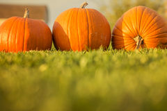 Three bright orange pumpkins on the gras. Royalty Free Stock Image
