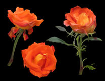 Three bright orange rose flowers isolated on black Stock Photos