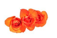 Three Bright Orange Rosebuds on Wite Background Royalty Free Stock Images